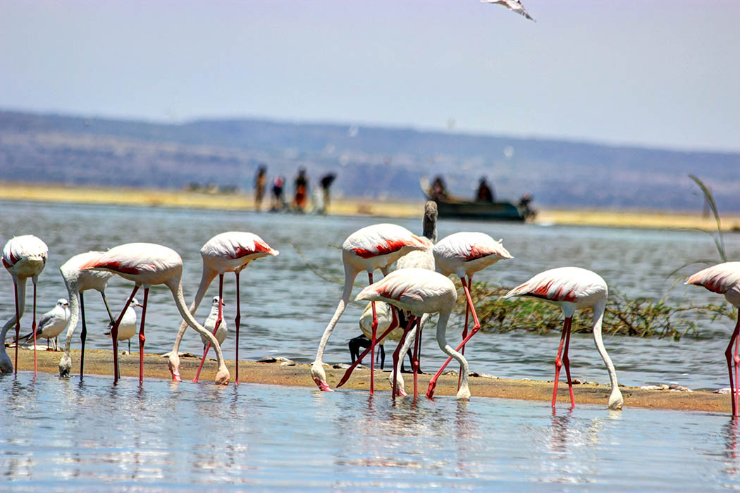 Unexpected Kenya_Flamingoes