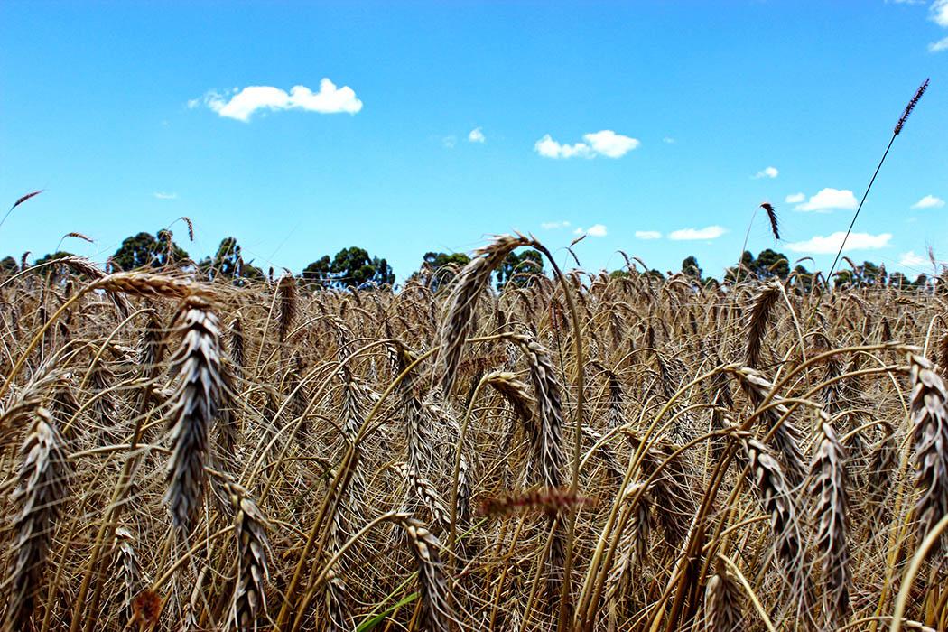 Unexpected Kenya_Wheat farm Moiben