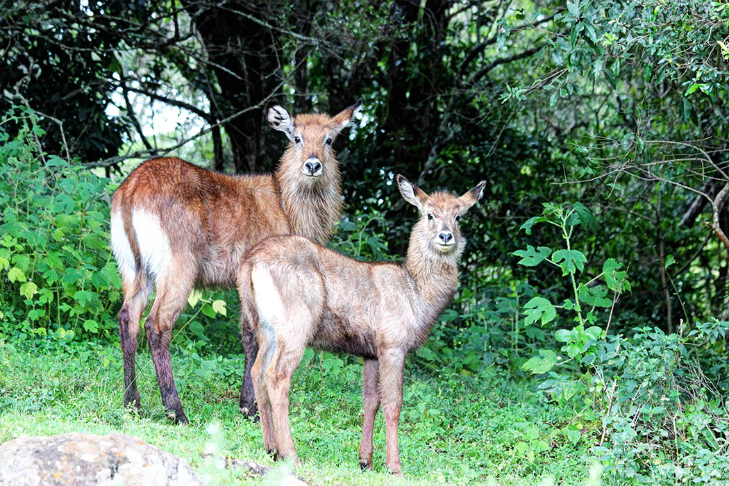 Mt Elgon National Park_Female bushbuck and calf