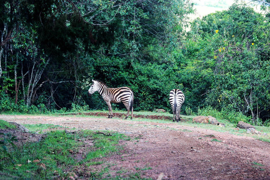Mt Elgon National Park_Zebras1