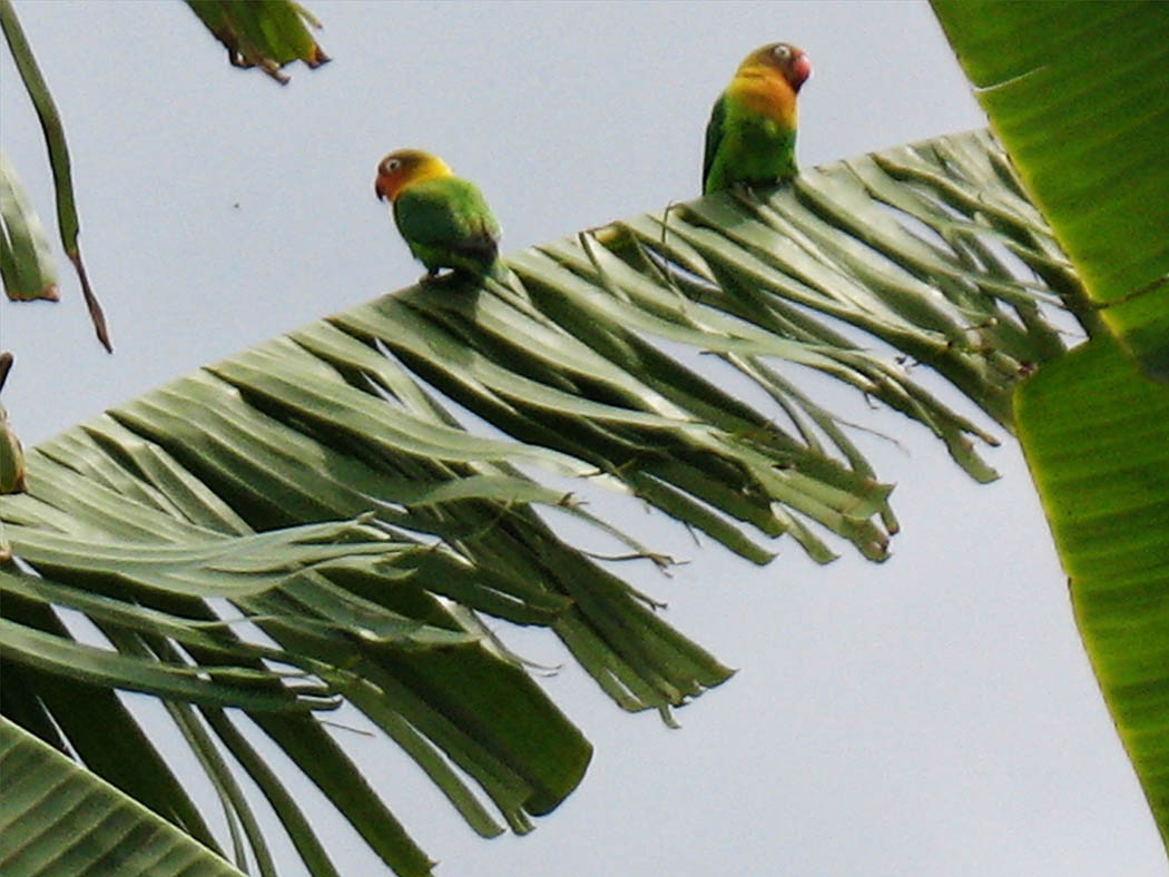 Wildlife in my backyard_fischers lovebird