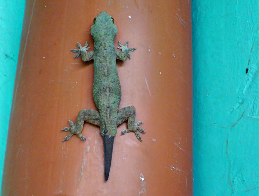 Wildlife in my backyard_gecko