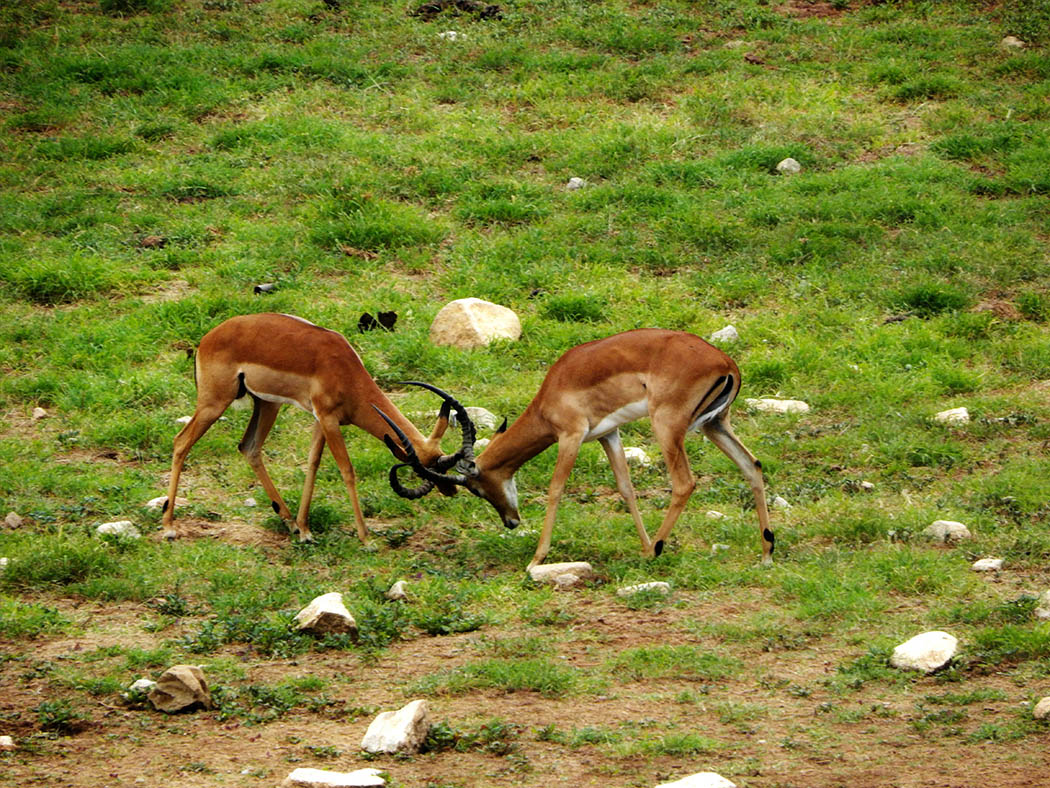 Taita Hills Wildlife Sanctuary_impalas