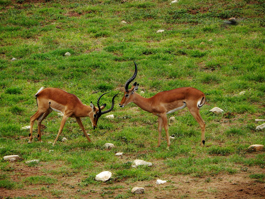 Taita Hills Wildlife Sanctuary_impalas2