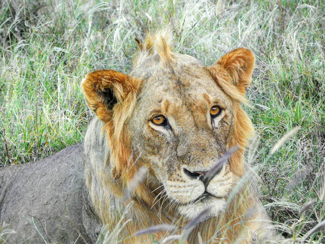 Taita Hills Wildlife Sanctuary_lion close shot2