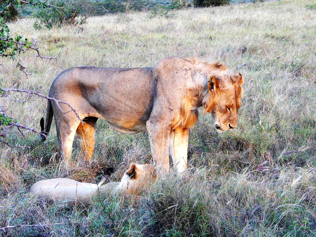 Taita Hills Wildlife Sanctuary_lion couple