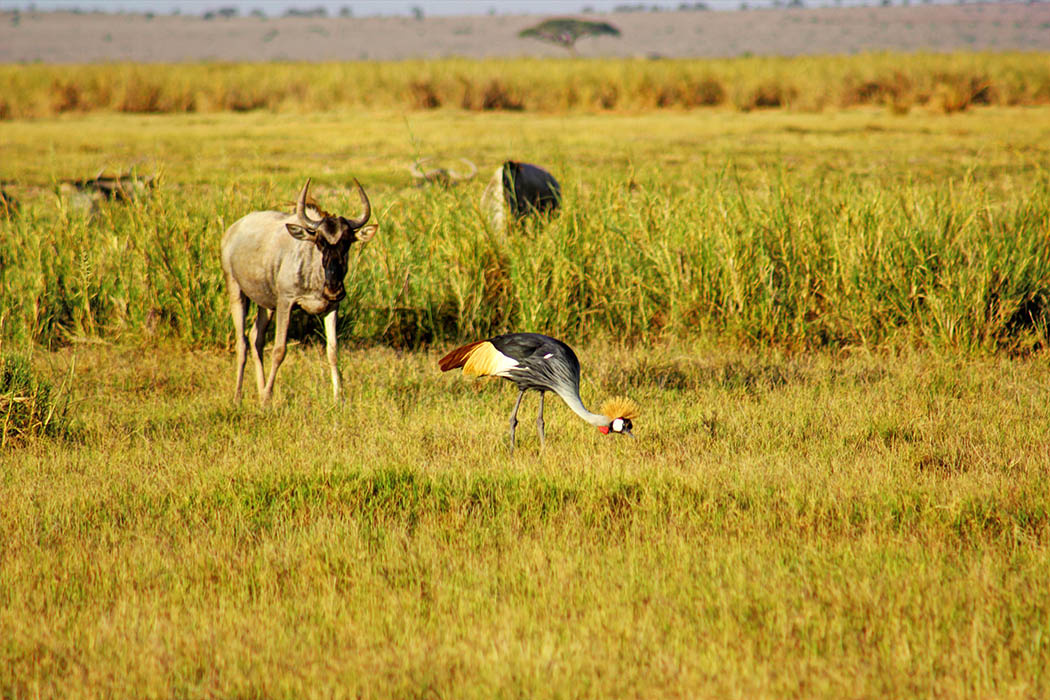 Amboseli National Park Crowned Crane