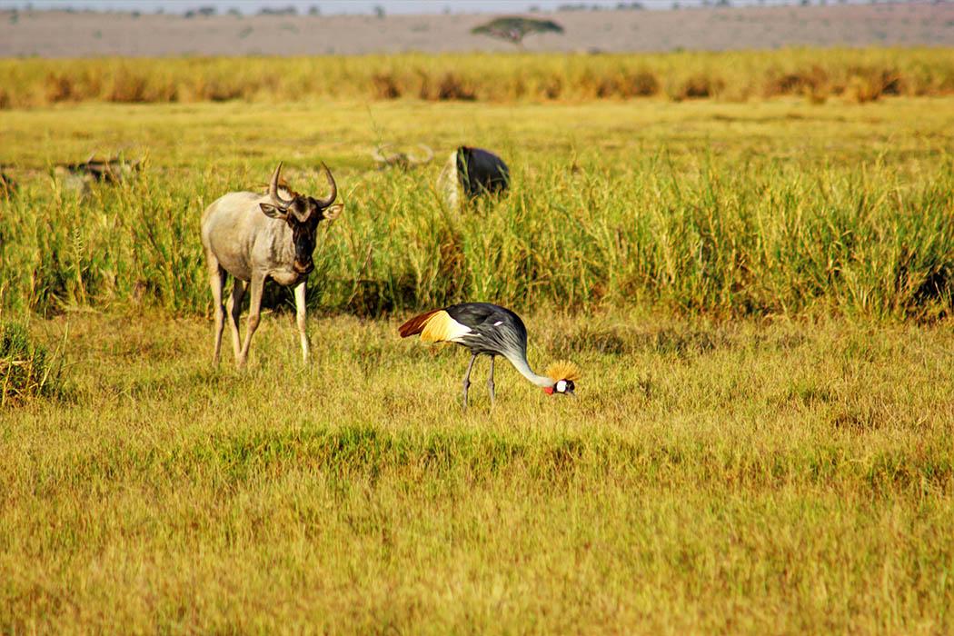 Amboseli National Park Crowned Crane