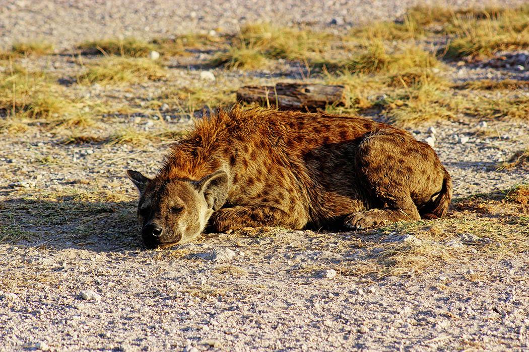 Amboseli National Park Hyena basking