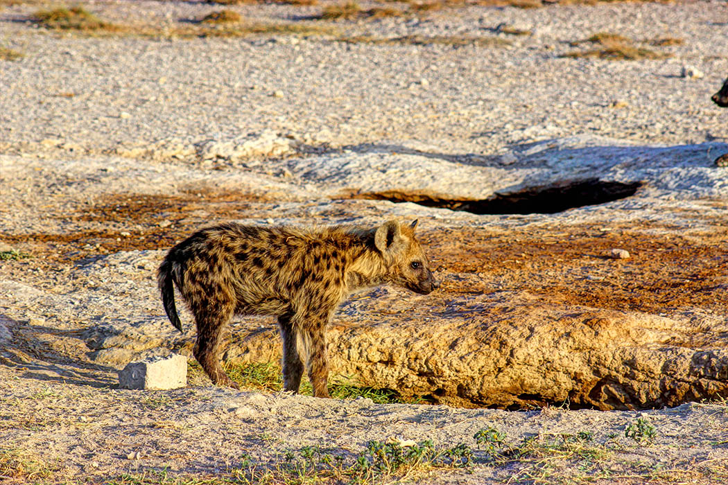 Amboseli National Park Hyena