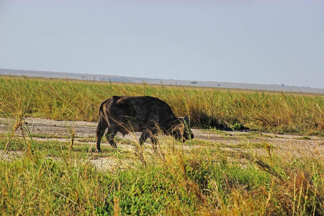 Amboseli National Park Lone buffalo
