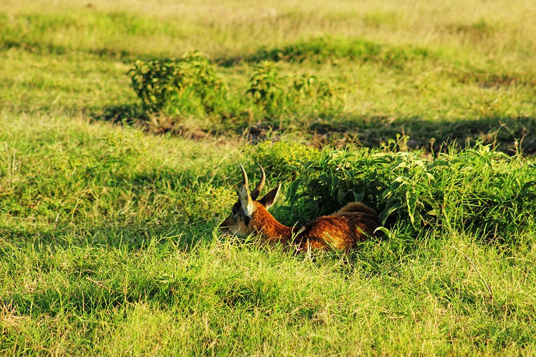 Amboseli National Park Reedbuck