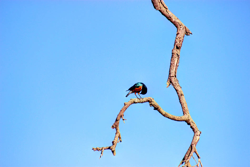 Amboseli National Park Superb starling