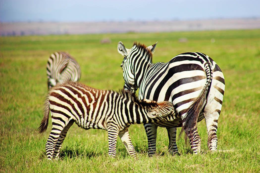 Amboseli National Park Zebra with calf