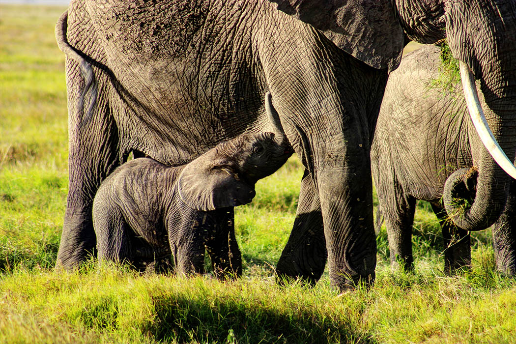 Elephants of Amboseli calf feeding