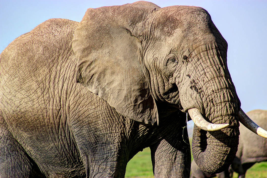 Elephants of Amboseli close up