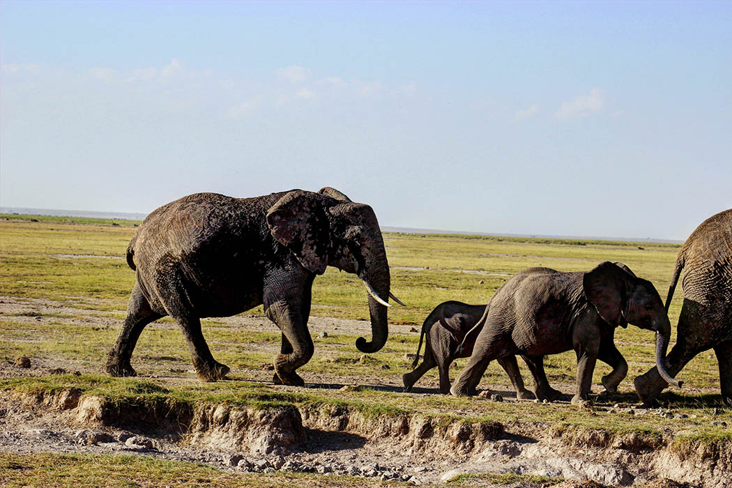 Elephants of Amboseli family3