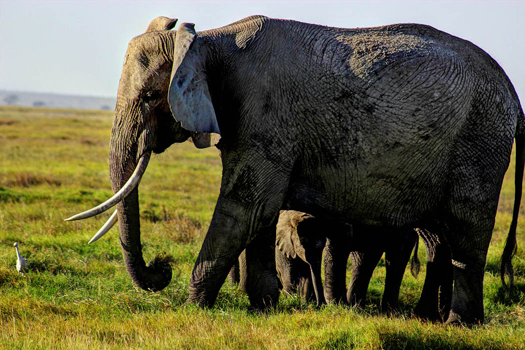 Elephants of Amboseli female with calf