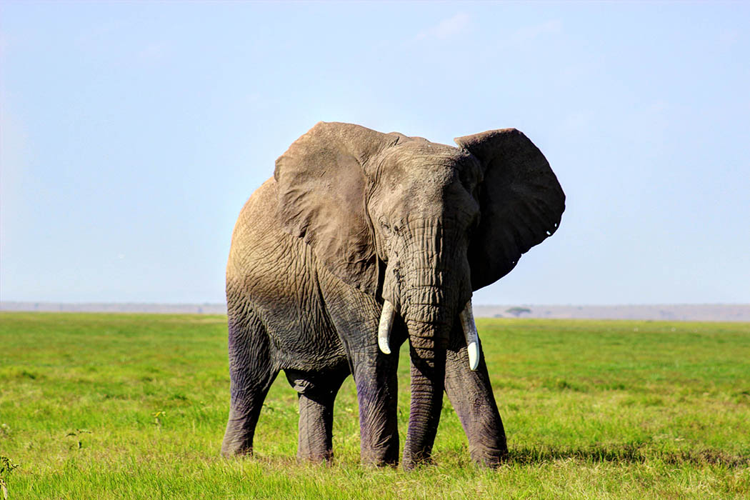 Elephants of Amboseli male