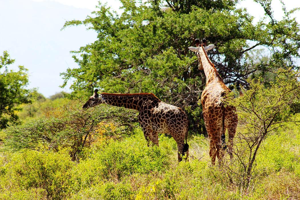 Tsavo West National Park_Giraffe pair