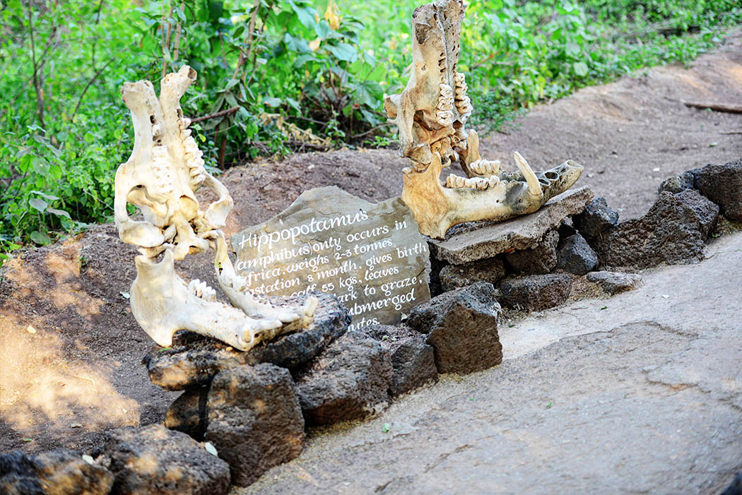 Tsavo West National Park_Hippo skull