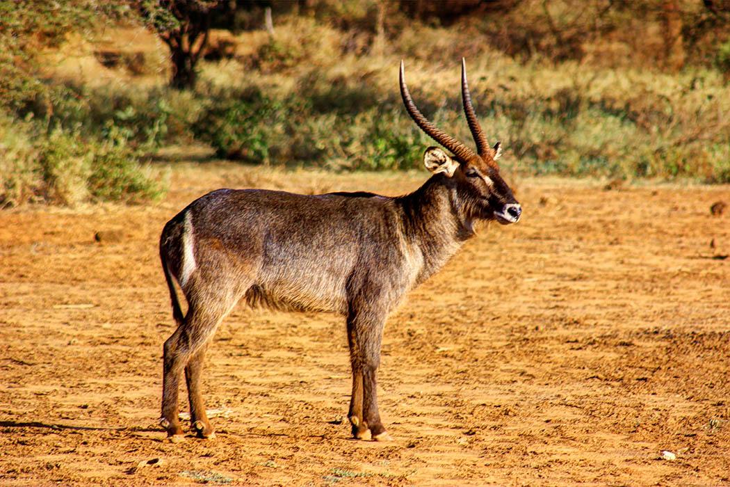 Tsavo West National park_waterbuck