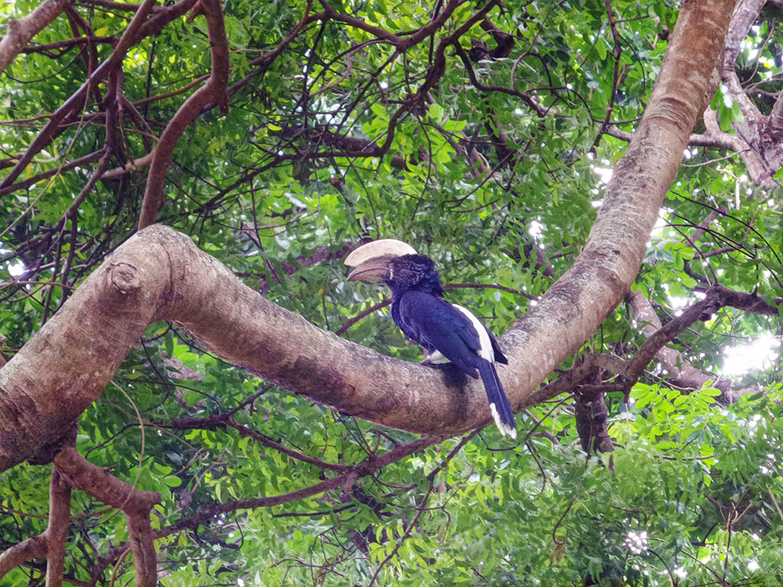 Jumba la Mtwana_Hornbill