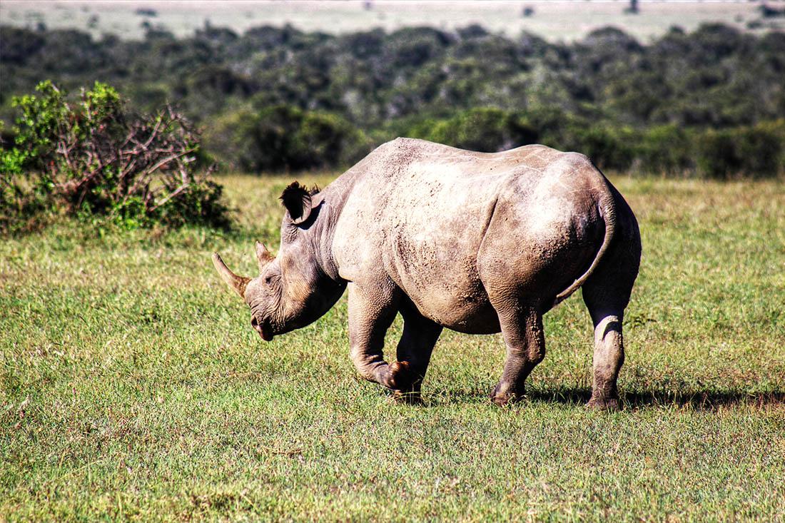 Ol Pejeta Conservancy_black rhino1