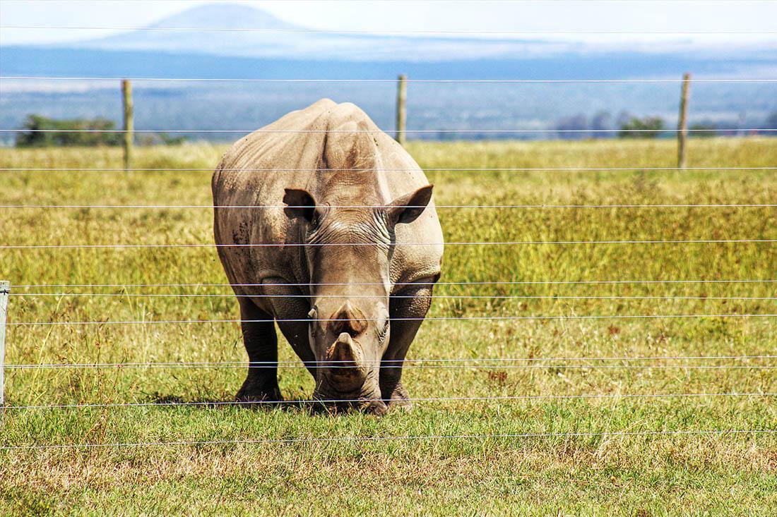 Ol Pejeta Conservancy_white rhino2