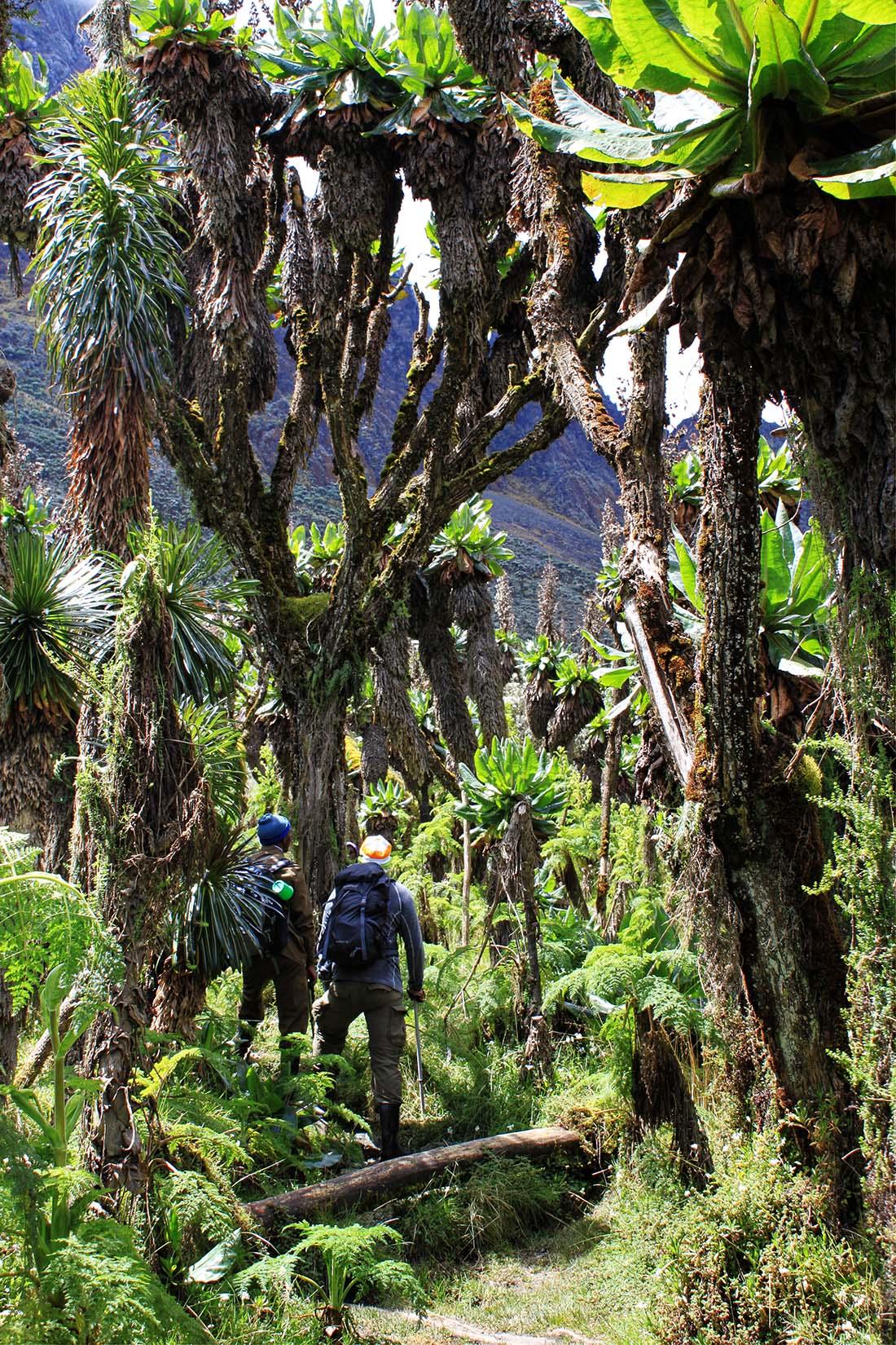 Jorn Eriksson_Rwenzori Mountains_giant lobelias