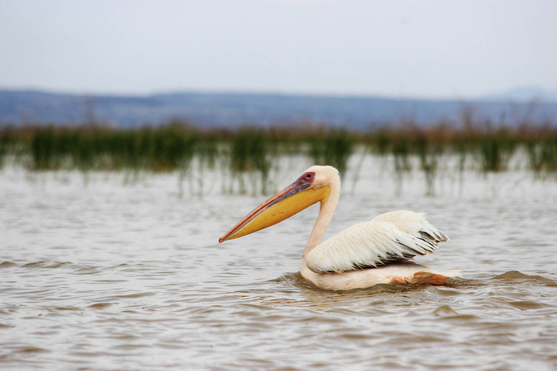 Lake Turkana_Pink backed pelican