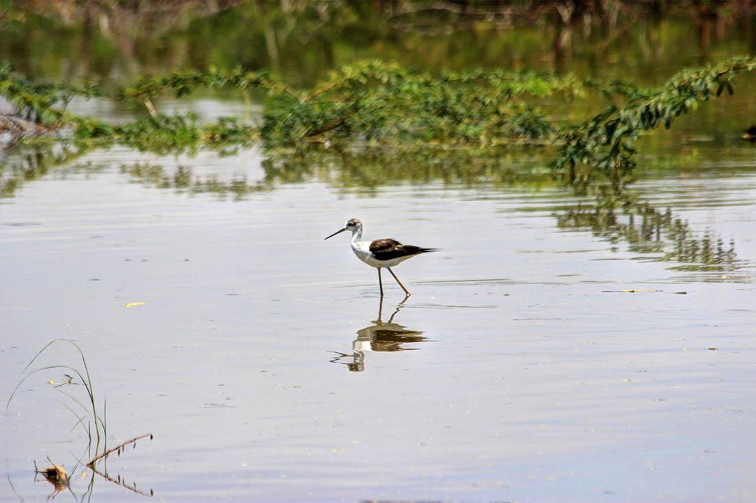 Lake Turkana_black winged stilt (2)