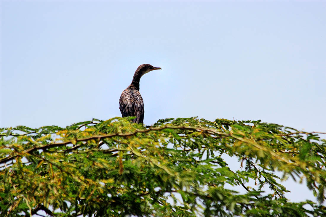 Lake Turkana_cormorant