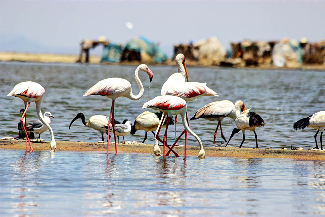 Lake Turkana_greater flamingo