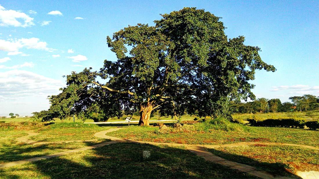 TECNO Camon C5 Review_Uhuru gardens fig tree