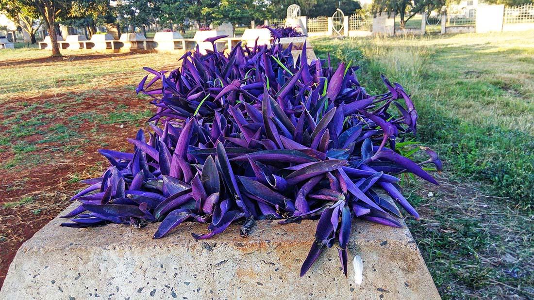 TECNO Camon C5 Review_Uhuru gardens_purple plants