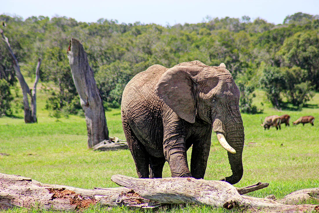 Ol Pejeta Conservancy_elephant2