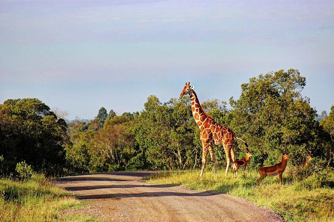 Ol Pejeta Conservancy_giraffe1