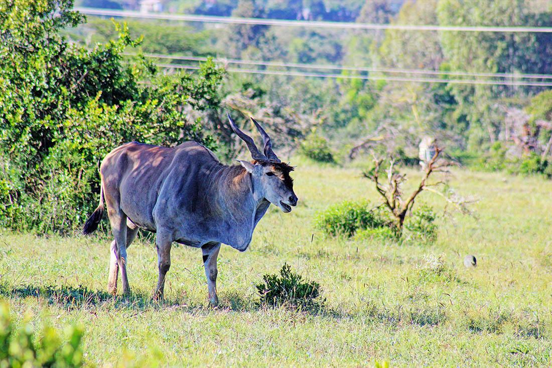Ol Pejeta Conservancy_greater kudu