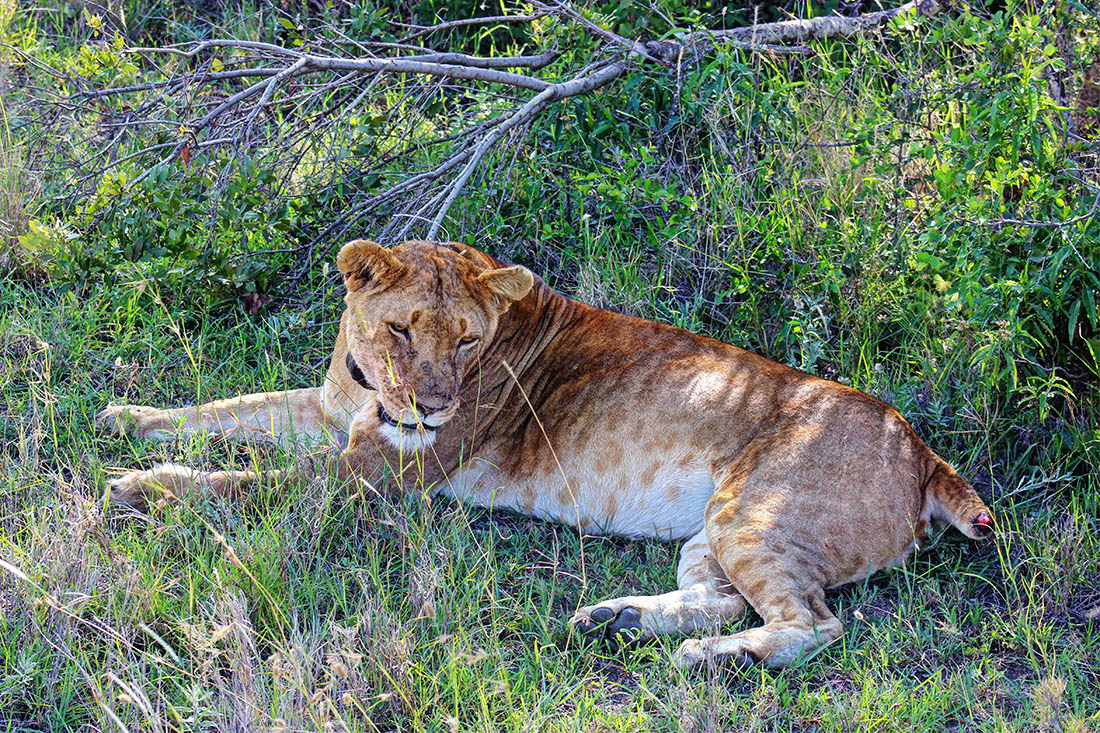 Ol Pejeta Conservancy_lioness2