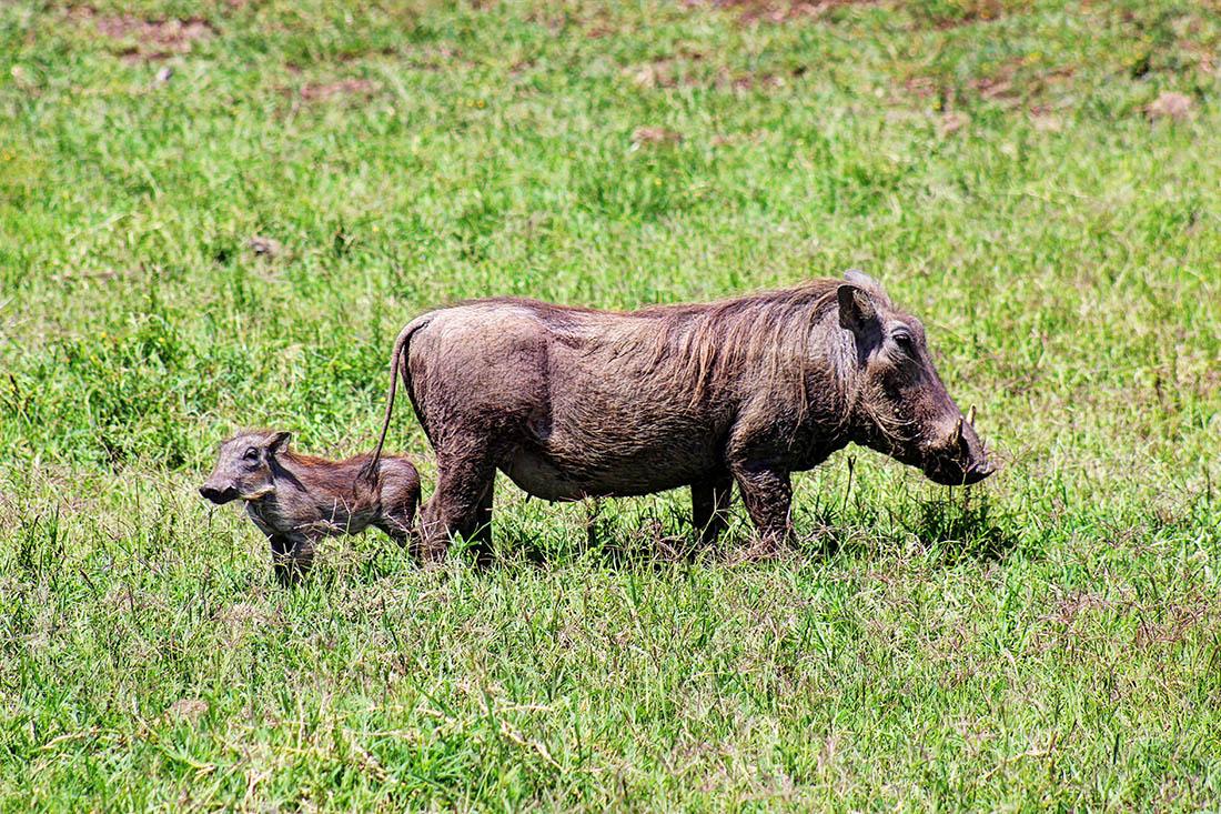 Ol Pejeta Conservancy_warthogs