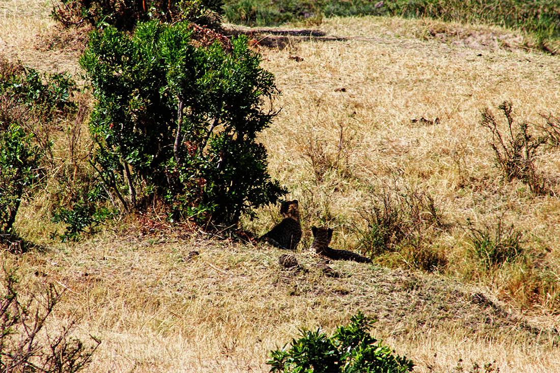 Maasai Mara_Cheetah2