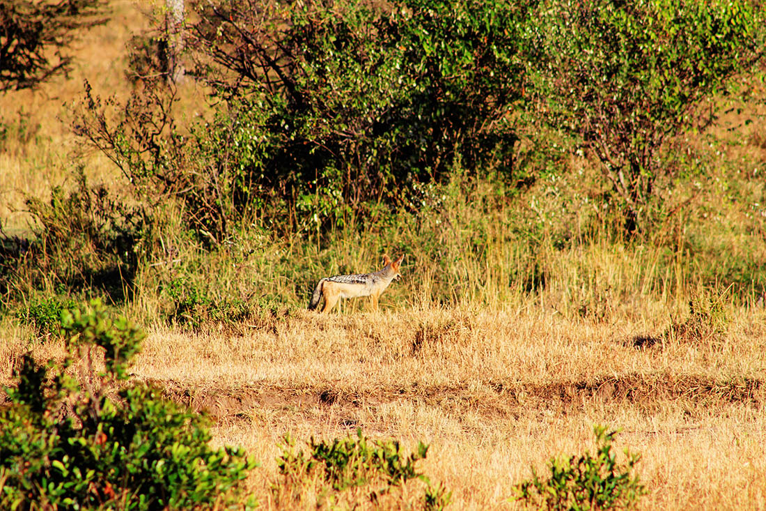 Maasai Mara_Jackal