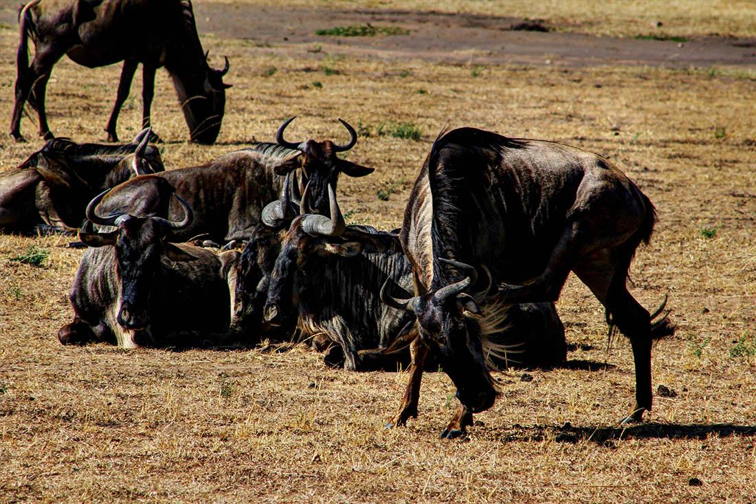 Maasai Mara_Wildebeest1