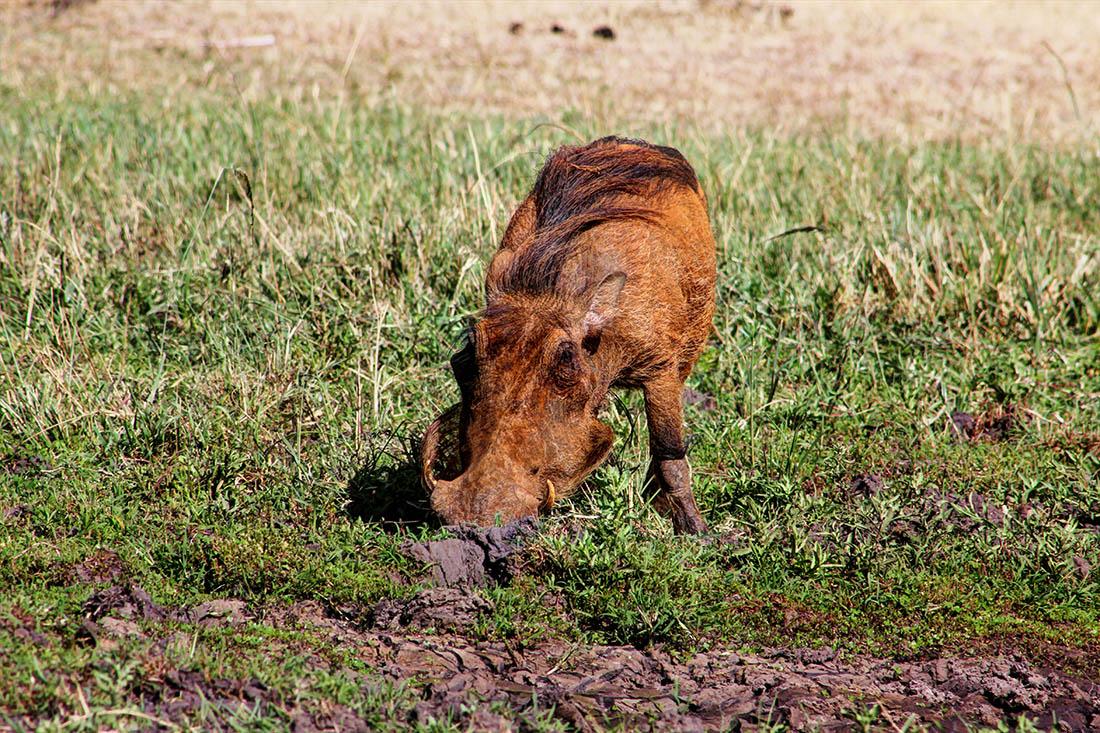 Maasai Mara_warthog