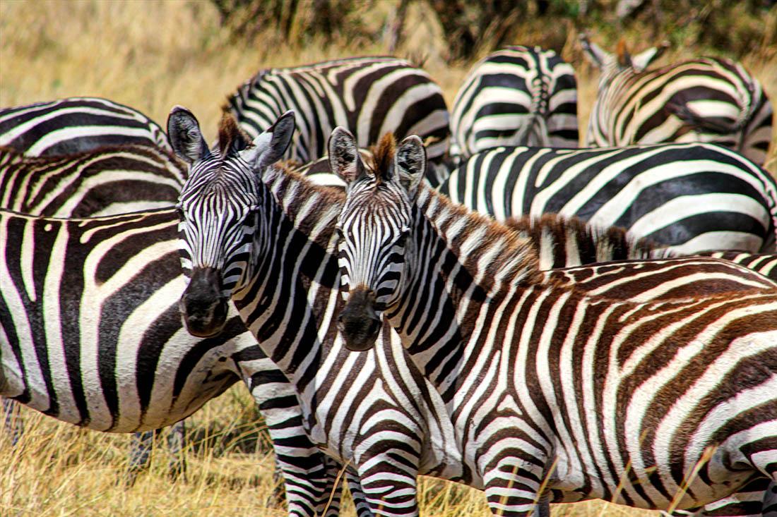 Maasai Mara_zebra1