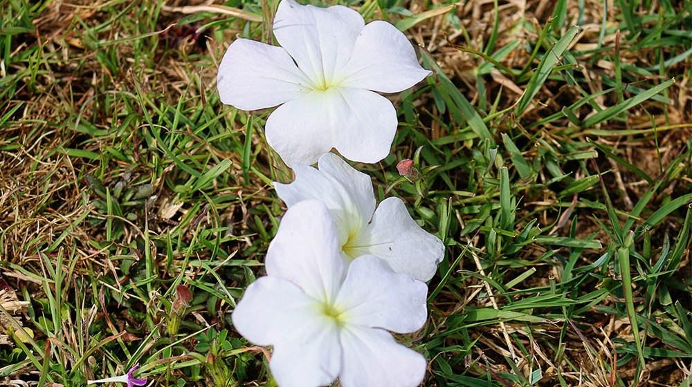 Lake Olbolossat_Flower