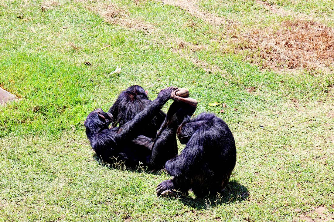 Sweetwaters Chimpanzee Sanctuary_Oscar and Co