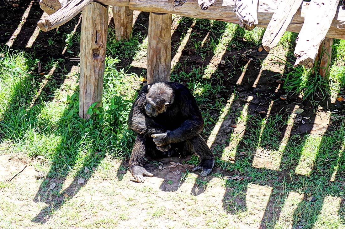 Sweetwaters Chimpanzee Sanctuary_Oscar