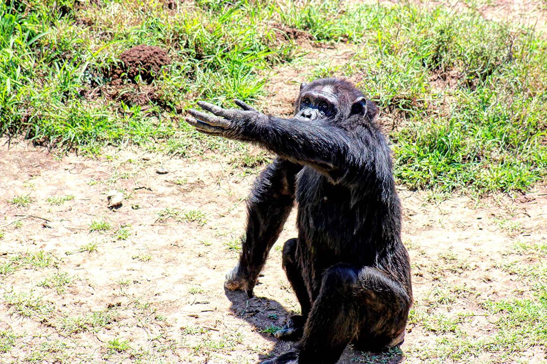 Sweetwaters Chimpanzee Sanctuary_begging